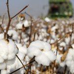 Innovación y sustentabilidad  para incrementar la producción  algodonera en México