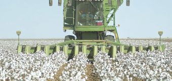 Prohibir transgénicos  afectará al algodón