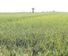 Agricultura del valle  de Mexicali sin rectoría