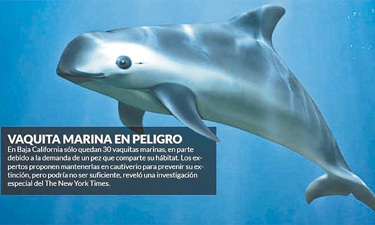 """Científicos a AMLO: """"Su gobierno puede salvar la vaquita marina"""""""