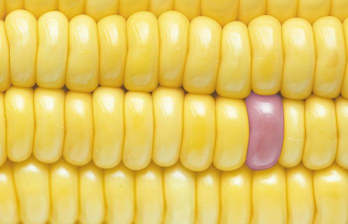 Científicos de la UNAM trabajan en mejoramiento genético del maíz