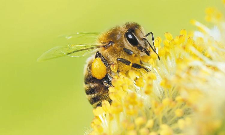 Promueven una mayor  protección para las abejas