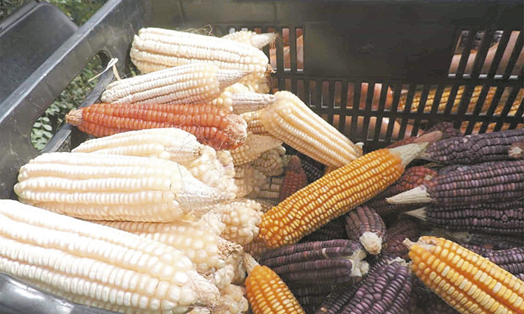 Analizan susceptibilidad de hongos en maíz por cambios climáticos