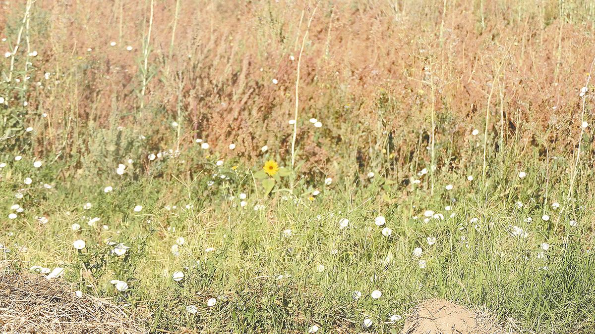 Problemas en  algodonero ajenos a semilla; Bayer
