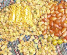 Desarrollan semillas mejoradas para incrementar cultivos