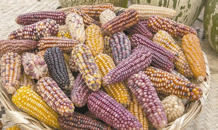 Parientes silvestres de cultivo, clave para mejorar agricultura