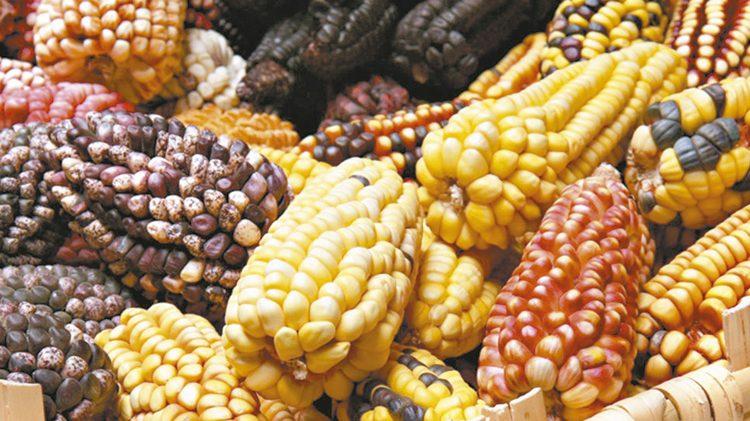 El cambio climático vulnera  producción de maíz mexicano