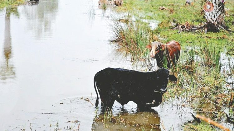 Tráfico de ganado  centroamericano  tiene en quiebra a la ganadería nacional