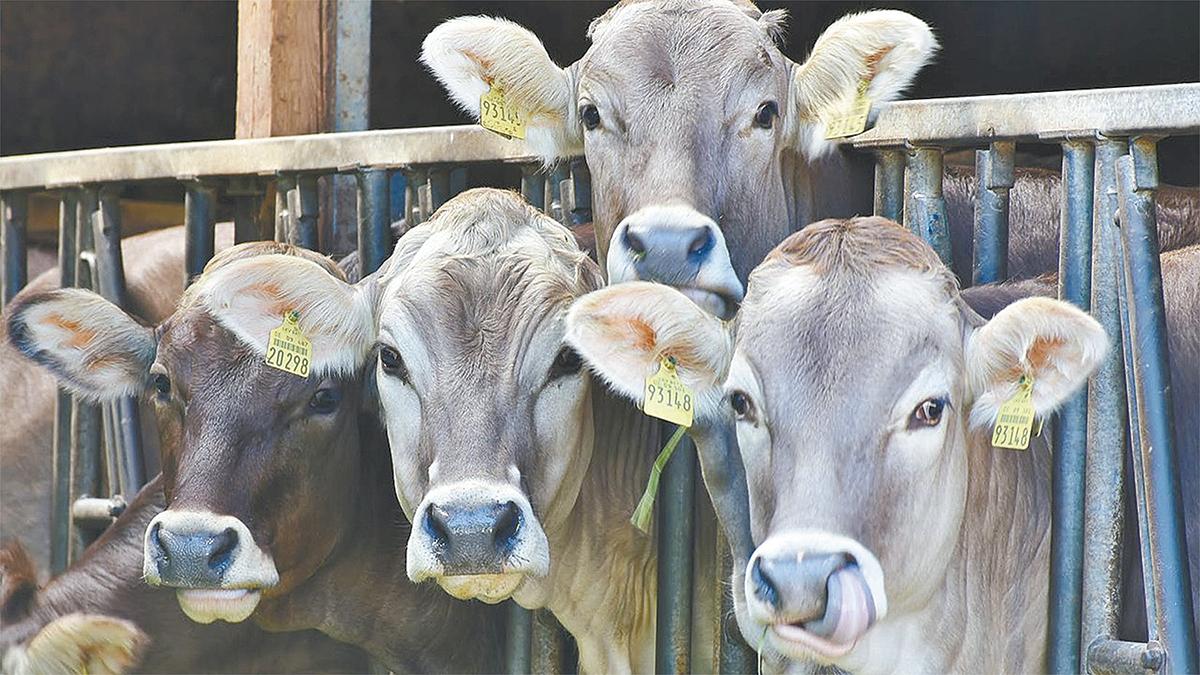 Declaran a BCS zona libre de brucelosis bovina, caprina y ovina