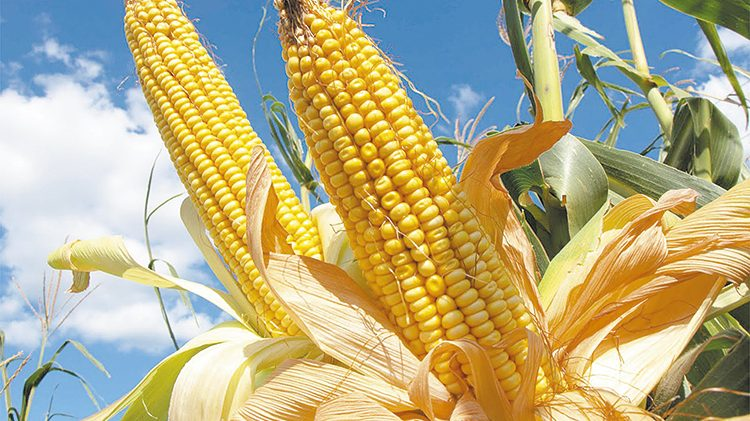 Crece 7% producción de maíz amarillo