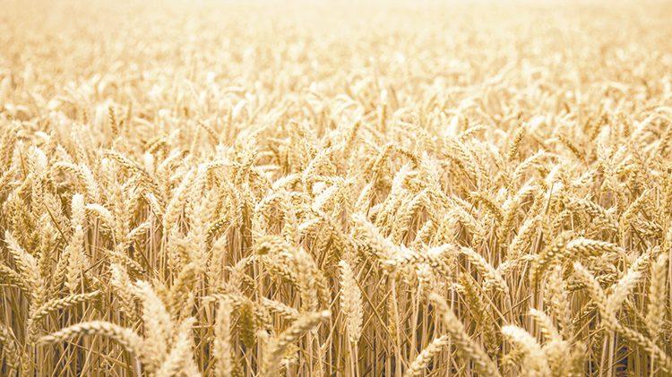México avanza en producción de trigo