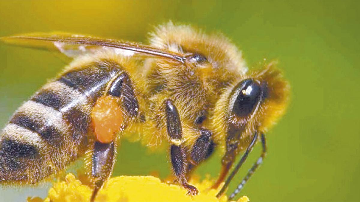 Cuba evalúa beneficio de abeja sin aguijón cultivada desde época precolombina