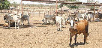 Sinaloa perdió la certificación sanitaria por parte del USDA para exportar ganado