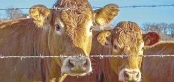 GN frenará trasiego  de un millón de reses  al país: Agricultura