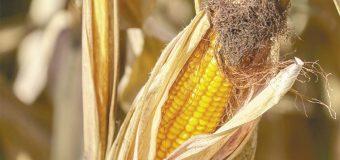México deja de comprar maíz a grandes empresas