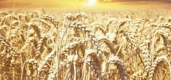 Estima la FAO baja en producción de trigo
