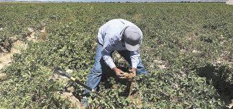 PepsiCo, un gigante en busca de  la sostenibilidad agrícola en AL