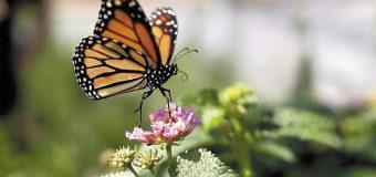 Por segundo año, el conteo de monarcas en California es bajo
