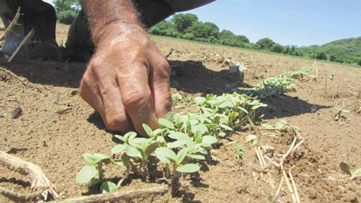 Ajonjolí cultivo con potencial