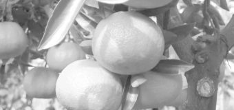 Chile inicia la exportación de cítricos al mercado chino