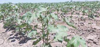 Evaluación de variedades de algodón no transgénico; SCSA