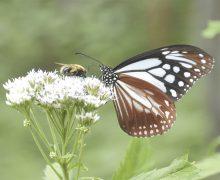 Un tercio de los insectos están en  riesgo de extinción, según estudio