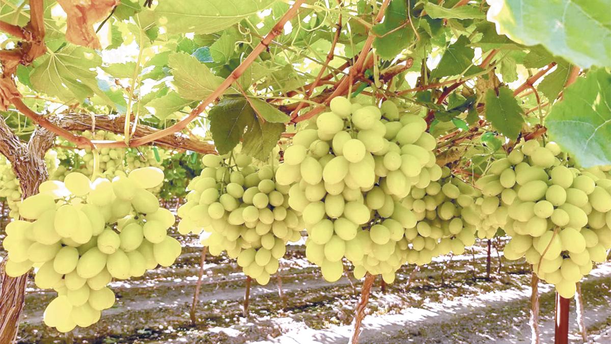 Sonora inició exportación de uva de mesa a Corea del Sur