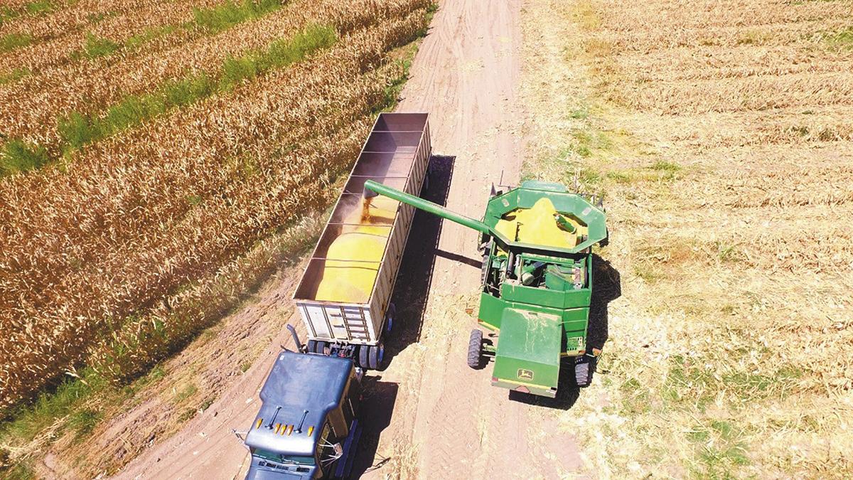 Productores de maíz abandonados  negocian precios para la cosecha