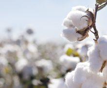 Obstaculiza Federación  el cultivo del algodón