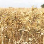 Crecerá 10% producción de trigo en Sonora